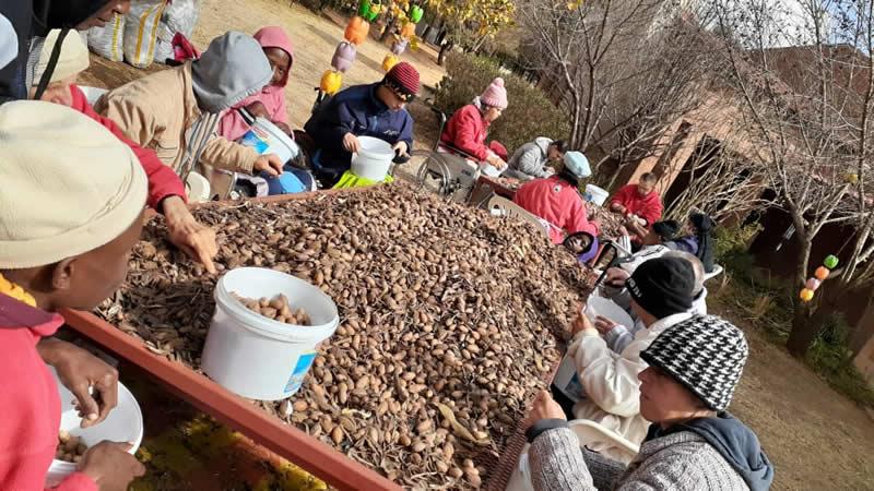 pecan nut harvest